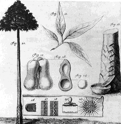 フレスノーが描いたパラゴムの木(hevea tree)